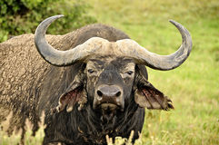 Búfalo de água no safari de Masa-mara em Kenya Fotografia de Stock Royalty Free