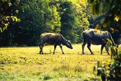 Búfalo de Ásia no campo de grama em Tailândia Fotografia de Stock Royalty Free