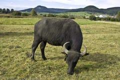 Búfalo de agua Fotos de archivo libres de regalías