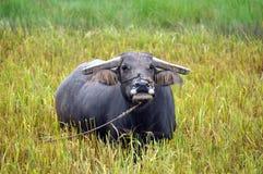 Búfalo de agua Imagen de archivo