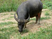 Búfalo de agua asiático Fotografía de archivo