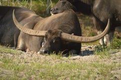 Búfalo de agua asiático Imágenes de archivo libres de regalías