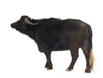 Búfalo de agua asiático doméstico - bubalis del Bubalus fotos de archivo libres de regalías
