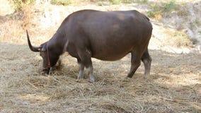 Búfalo de agua asiático que come la paja almacen de metraje de vídeo