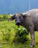 Búfalo de agua con la cascada imagen de archivo libre de regalías