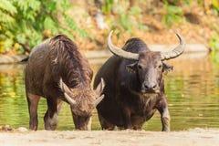 Búfalo de agua de Asia que sube de la charca Fotografía de archivo