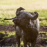 Búfalo de agua de Uganda Imagen de archivo libre de regalías