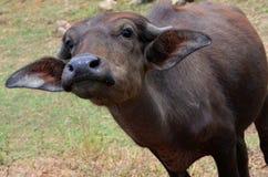 Búfalo de agua del bebé, Srí Lanka foto de archivo libre de regalías