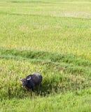Búfalo de agua en arroz de arroz Foto de archivo