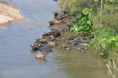 Búfalo de agua en el río fotos de archivo