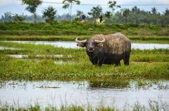 Búfalo de agua en Vietnam en campo debajo del agua imagenes de archivo