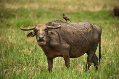 Búfalo de agua maduro Imagen de archivo