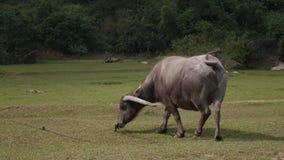 Búfalo de agua muy viejo atado con los paseos de cuerda en prado 4K metrajes