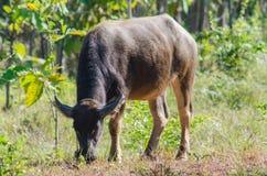 Búfalo de agua o búfalo asiático sobre el vidrio fotografía de archivo