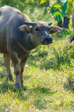 Búfalo de agua o búfalo asiático sobre el vidrio fotografía de archivo libre de regalías