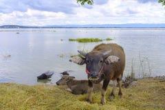 Búfalo de agua por un lago imagen de archivo