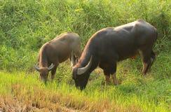 Búfalo de agua que come la hierba Foto de archivo