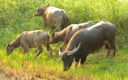 Búfalo de agua que come la hierba Imagen de archivo