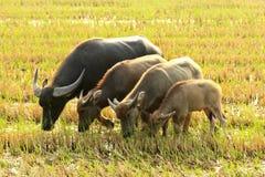 Búfalo de agua que come la hierba Fotografía de archivo libre de regalías