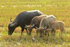 Búfalo de agua que come la hierba Fotos de archivo
