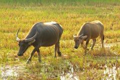 Búfalo de agua que come la hierba Imagen de archivo libre de regalías
