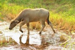 Búfalo de agua que come la hierba Imagenes de archivo