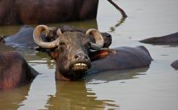 Búfalo de agua que se baña en el Ganges/Varanasi fotografía de archivo