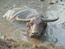 Búfalo de agua que se revuelca en un agujero en Asia - medio del fango Foto de archivo