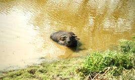 Búfalo de agua que vadea y que se refresca abajo en la charca Imagenes de archivo