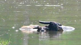 Búfalo de agua que vadea y que se refresca abajo en la charca almacen de video