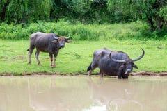 Búfalo de agua salvaje que se baña en el lago en Sri Lanka Foto de archivo