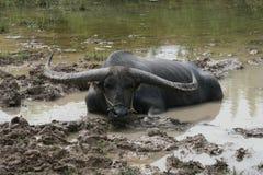 Búfalo de agua tailandés imagen de archivo libre de regalías