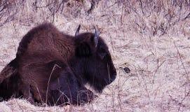 Búfalo de Alaska Fotos de archivo libres de regalías