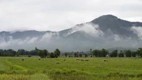 Búfalo de Asia en campo del campo y fondo grande de la montaña metrajes