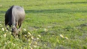 Búfalo de Asia en el campo del campo de Tailandia almacen de metraje de vídeo