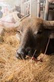 Búfalo de Brown en el corral que come la hierba foto de archivo libre de regalías