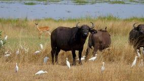 Búfalo de Bull que mira la cámara en la sabana africana salvaje almacen de video