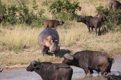 Búfalo de cabo de intimidación del hipopótamo Fotos de archivo libres de regalías