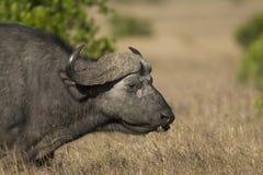 Búfalo de cabo em Kenya Fotografia de Stock Royalty Free