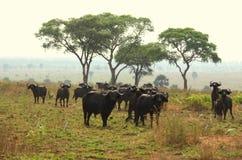 Búfalo de cabo en la sabana Imagen de archivo