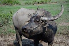 Búfalo de los animales Imagen de archivo libre de regalías