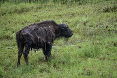 Búfalo de madera Imagen de archivo libre de regalías