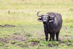 Búfalo de Muddy Cape em Masai Mara fotografia de stock royalty free
