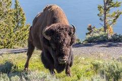 Búfalo de pedra amarelo fotos de stock