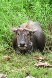 Búfalo de Potrait con la cuerda en el campo del verde de la charca de Tailandia Imagenes de archivo