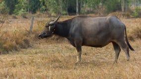 Búfalo de Tailandia Búfalo en un campo que come la hierba seca Foto de archivo