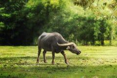 Búfalo de Tailandia en campo verde del campo Imagen de archivo