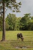 Búfalo de Tailandia en campo verde del campo Foto de archivo libre de regalías