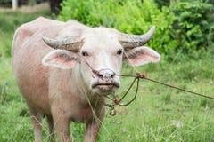 Búfalo del albino Fotos de archivo