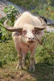 Búfalo del albino Imagen de archivo libre de regalías